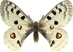 Parnassius.apollo.mounted.cut-out.jpg