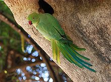 Parrot India 3.jpg