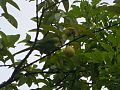 Parrot eating guava.jpg
