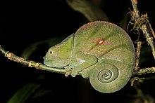 Parsonin kameleontti (Calumma parsonii cristifer) naaras Andasibe 2.jpg