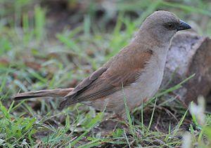 Passer - A northern grey-headed sparrow in Rwanda