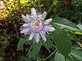Passiflora incarnata maypop.JPG