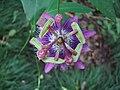 Passiflora loefgrenii (BG Zurich)-04.JPG