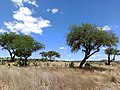 Pastizal de Dolores Hidalgo, Guanajuato - (con mezquites y nopales).jpg