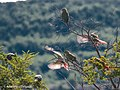 Patagonian Parrots On The Fly (231780269).jpeg