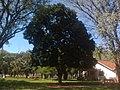 Pau-brasil - panoramio.jpg