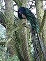Peacock preening in a pine tree, Trevarno - geograph.org.uk - 222583.jpg