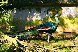 Peafowl at the Taipei Zoo