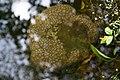 Pectinatella magnifica 02.jpg