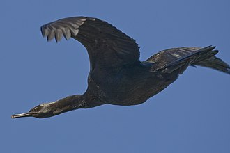 Pelagic cormorant - Nonbreeding adult (probably P. p. resplendens) flying off Morro Rock (California, United States)