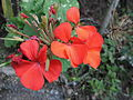 Pelargonium hortorum (Novio).jpg