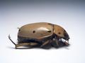 Beetles Wikibooks Open Books For An Open World
