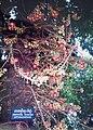 Pentacme siamensis 鈍葉娑羅雙 - panoramio.jpg