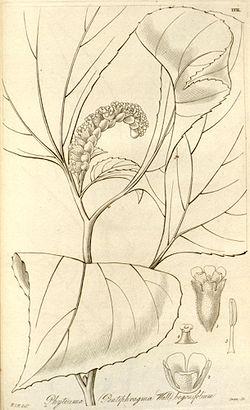 Pentaphragma begoniaefolium.jpg