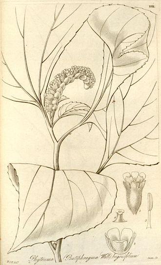 Pentaphragma - Pentaphragma begoniaefolium