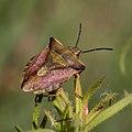 Pentatomidae-Punaise à bouclier-20160420.jpg
