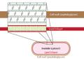 Peptidoglycan-membrane.png