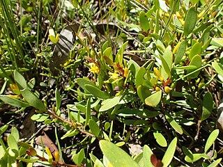 <i>Persoonia procumbens</i>