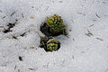 Petasites officinalis in snow.jpg