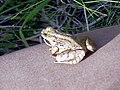 Petite grenouille des pres-3 (vue 3 quarts arriere).jpg