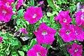"""Petunia """"Wave Rose"""" 1 (49063032438).jpg"""