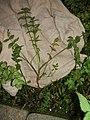 Pfingsbrunnen FB Knotenblütiger Sellerie 4.jpg