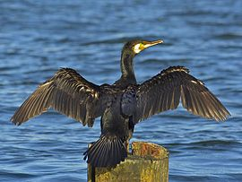 Geweune butstekker (Phalacrocorax carbo)