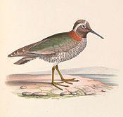 Phegornis mitchellii 1849