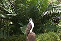 Philippine Eagle in Captivity.jpg