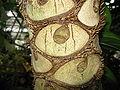 Philodendron selloum1.jpg