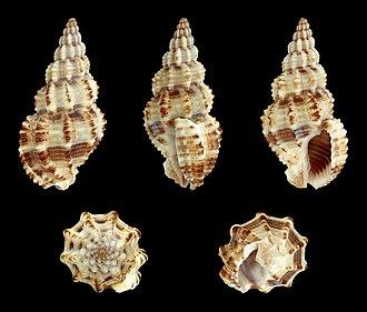Buccinoidea - Image: Phos senticosus 01