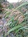 Phragmites australis 06.jpg