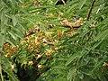 Phyllanthus acidus002.jpg