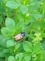 Phyllopertha horticola 136938303.jpg