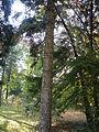 Picea orientalis 13.JPG