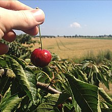 Cherry picking as a farming and a public relations practice.