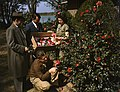 Picking camellias (8866035671).jpg