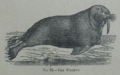 Picture Natural History - No 88 - The Walrus.png