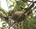 Picus viridis sharpei 099.jpg