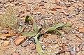 Pieces of petrified wood next to a Welwitschia (Namibia).jpg