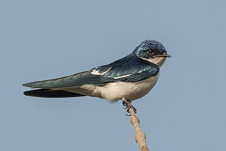 Pied-winged swallow (Hirundo leucosoma)