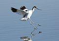 Pied Avocet, Recurvirostra avosetta at Marievale Nature Reserve, Gauteng, South Africa (27802003202).jpg