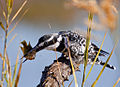 Pied kingfisher killing fish.jpg