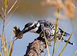 Pied kingfisher killing fish