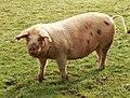 Pig (6880640464).jpg