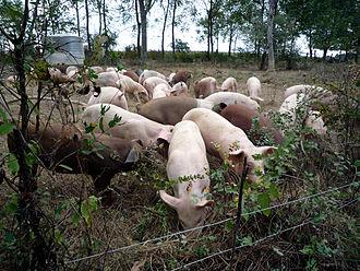 Polyface Farm - Free range pigs at Polyface Farm