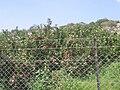 PikiWiki Israel 1393 Galilee Israel רכס הרי נפתלי גליל עליון.jpg