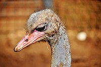 PikiWiki Israel 53296 ostrich.jpg