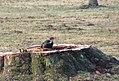 Pileated woodpecker P1300011.jpg