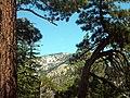 Pinaceae forest SanJacinto2.jpg